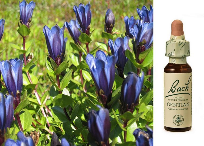gentian bach flower