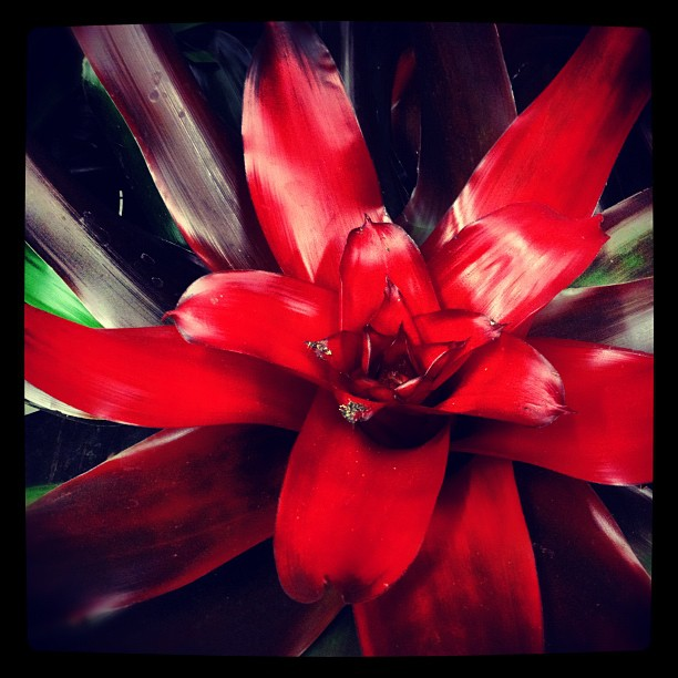 red_bromeliad