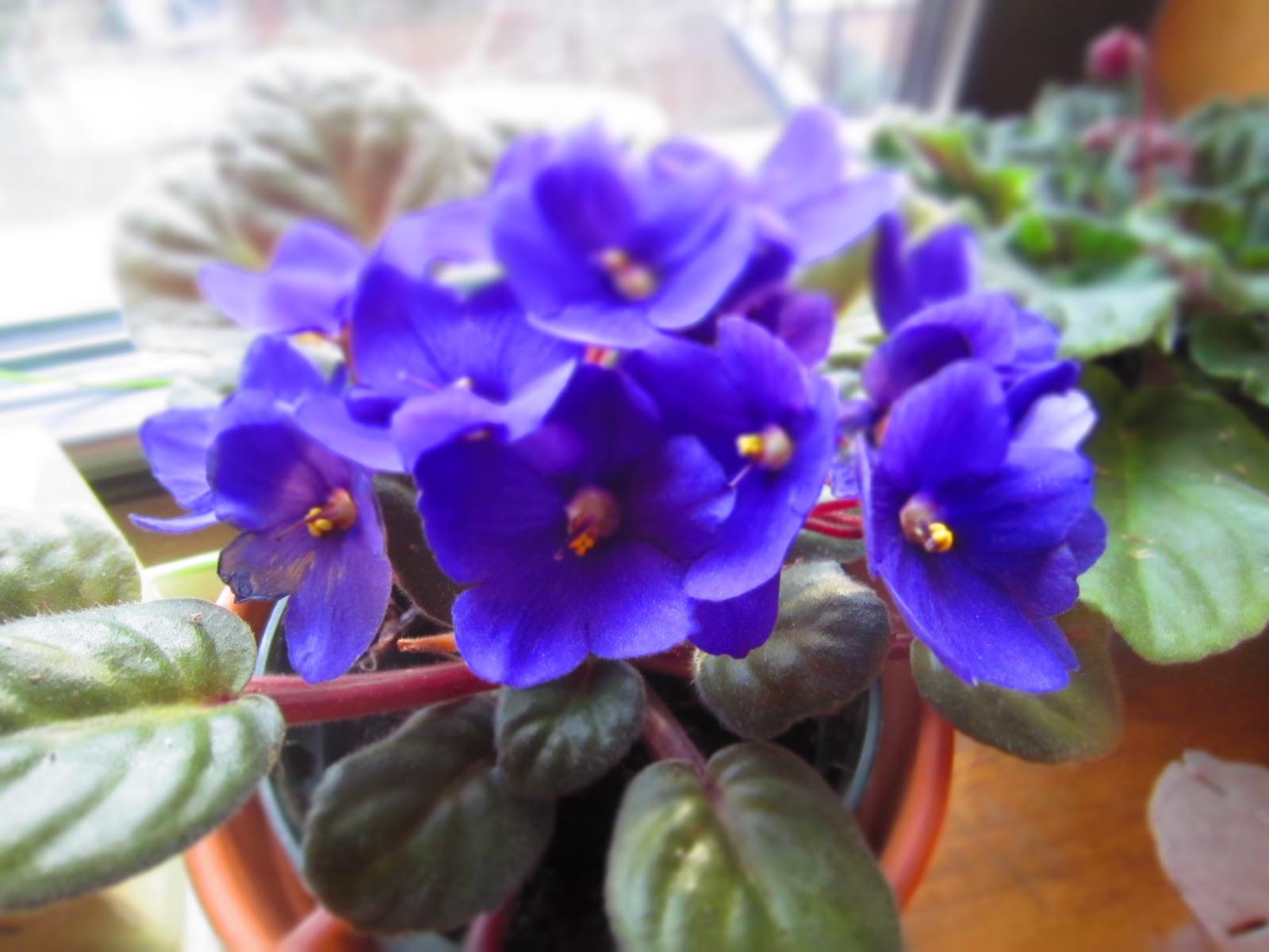 African Violets Feng Shui Feng Shui Houseplants The Tao Of Dana