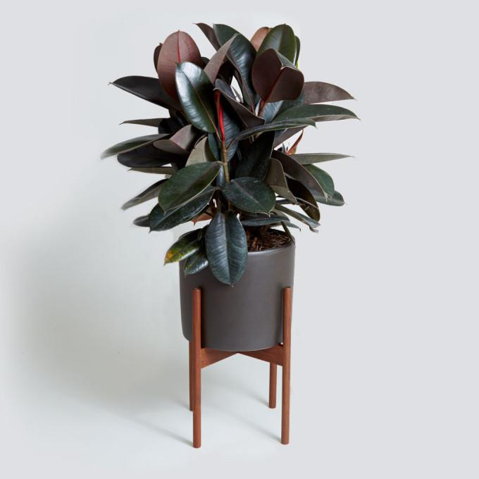 Modernica_Case_Study_Rubber_Tree_Black_Cylinder_Indoor_Plant_Gift